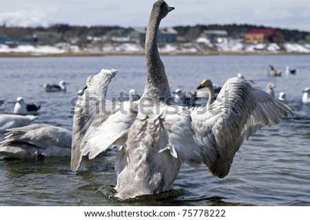 young  whooper swan in the river spreads wings - stock photo