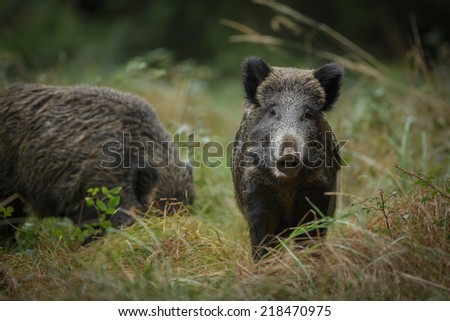 Young wild boar, Europe - stock photo