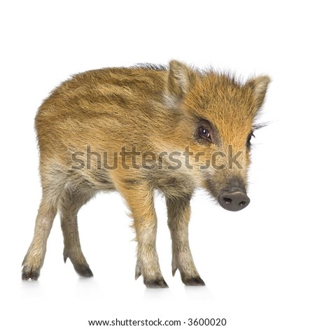 young wild boar in front of a white background - stock photo