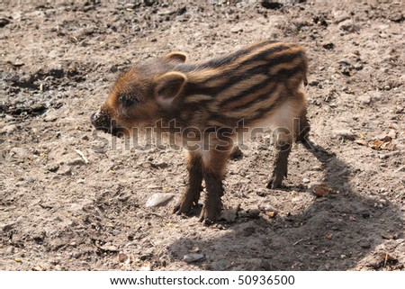 young wild boar standing on mud