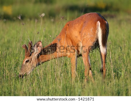 Young wild deer snacking in the Sunset - stock photo