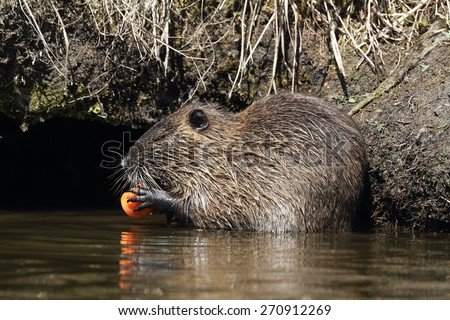 Young wild nutria (Myocastor coypus) eat in the water. Spring. - stock photo