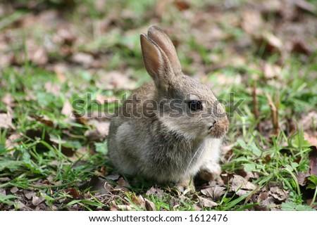 young wild rabbit - stock photo