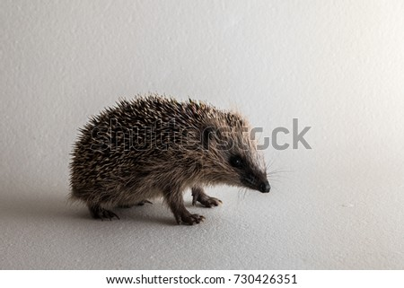 Young wild rescued European hedgehog in studio on white background