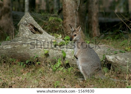 Young wild wallaby