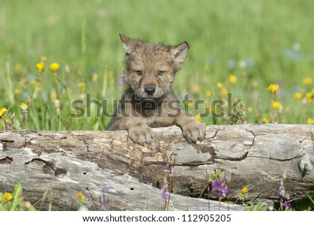 Young wolf cub near his den in Montana - stock photo
