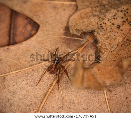 Young wolf spider resting on an autumn leaf - stock photo