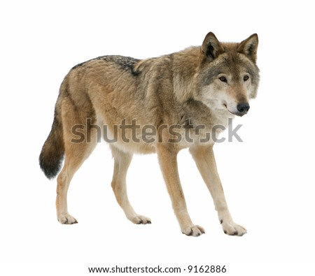 Young wolf staring at its chase. Isolated on white. - stock photo
