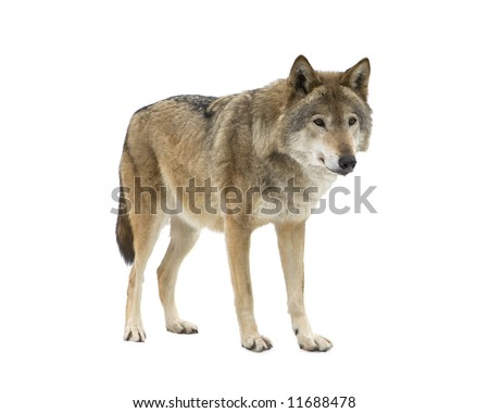 Young wolf staring at its pray. Isolated on white. - stock photo