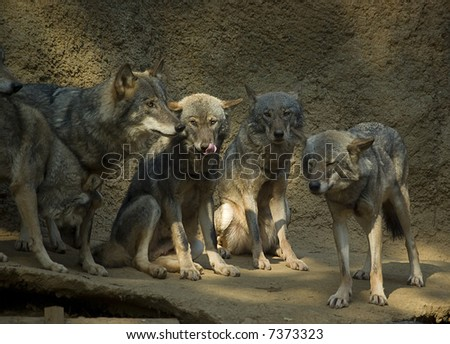 Young wolfs resting - stock photo