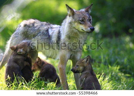 young wolves - stock photo