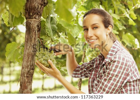 Young woman harvesting white grapes in a vineyard - stock photo