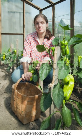 young woman is picking of green pepper in the greenhouse - stock photo