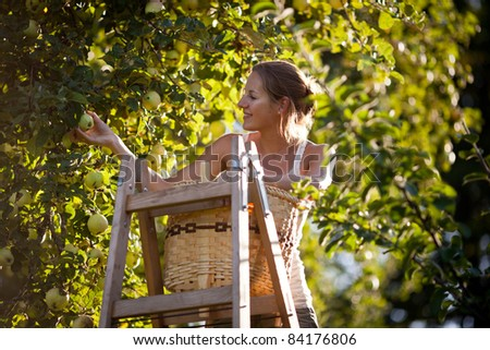 Young woman up on a ladder picking apples from an apple tree on a lovely sunny summer day - stock photo