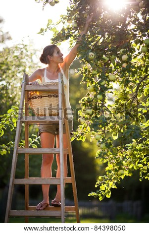 Young woman up on a ladder picking apples from an apple tree on a lovely sunny summer day - lit by warm evening light (shallow DOF; color toned image) - stock photo