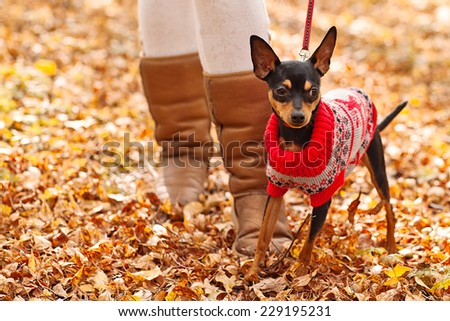 Young woman walking with her miniature pincher puppy in autumn forest wearing winter sweater. - stock photo
