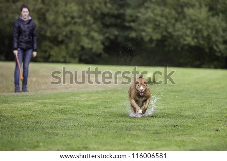 Young woman with fast running retriever dog, splashing through a puddle, to catch a yellow tennis ball, on a field with green grass at the waterfront