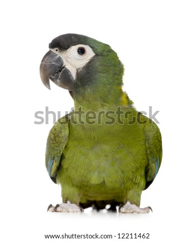 Young Yellow collared Macaw - Primolius auricollis in front of a white background - stock photo