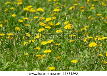 Young yellow dandelions at spring over green grass - stock photo