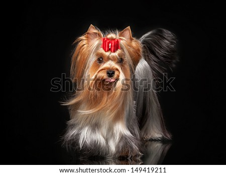 Young Yorkie female dog on black background