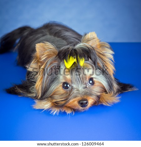 Young Yorkshire Terrier on a blue background