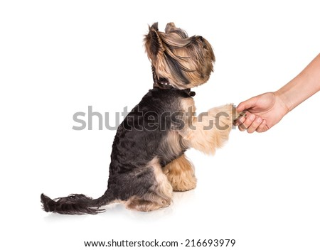 Young Yorkshire terrier on white background shaking hands with a man.