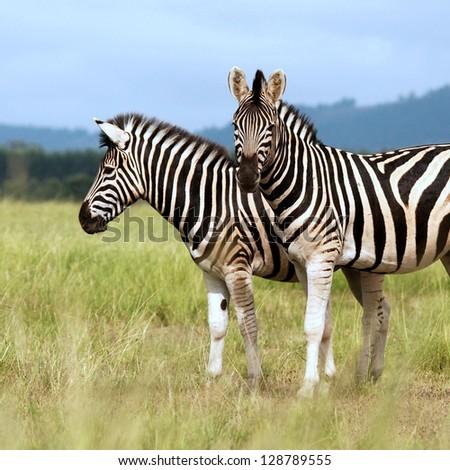 Young zebra cuddling with mum - stock photo