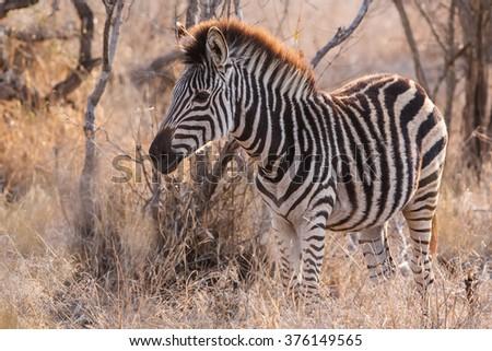 Young zebra in the Okavango Delta, Botswana - stock photo