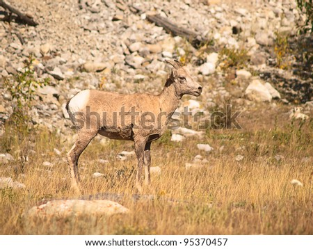 Youngster Mountain Goat away from it's herd. Mountain Goats are common seeing and a real danger for drivers that drive through Rocky Mountains. - stock photo