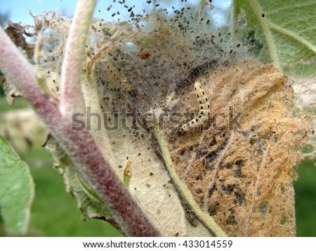 Yponomeuta malinellus or apple ermine moth larvae on apple tree in its web close up macro.                                - stock photo