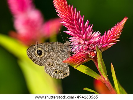 Ypthima baldus or Common Five-ring butterfly, Nymphalidae family, the Satyrinae subfamily (or the satyrines or satyrids, commonly known as the Browns) - on a pink flower Celosia argentea.