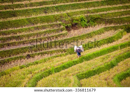 Yty, Laocai, Vietnam, Sep 10, 2015: farmers of ethnic Hmong are harvesting rice on terraced fields, Near Sapa Town has a lot of terraces rice fields