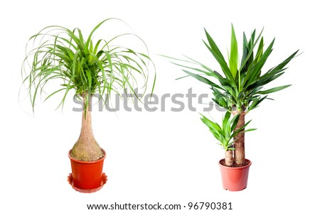 Yucca and Nolina. Tropical plants in flower pots. - stock photo