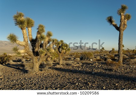 Yucca brevifolia trees, part of the agave family, on a Nevada desert. - stock photo