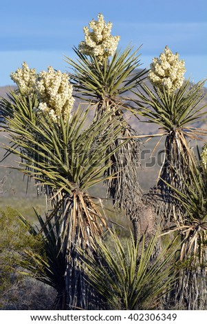 Yucca cactus in bloom during spring in the desert of California. - stock photo
