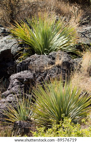 Yucca grows amid a 5,000 year old ropy lava bed (malpais) in Valley of Fires NRA near Carrizoso, NM - stock photo