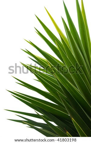 Yucca Palm fronds - stock photo