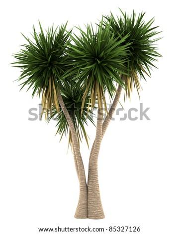Yucca palm tree isolated on white background - stock photo