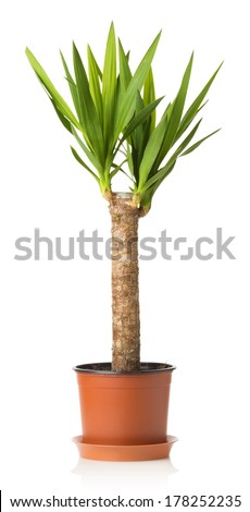 Yucca plant on a white background - stock photo