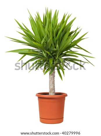 Yucca Potted Plant isolated on a white background - stock photo