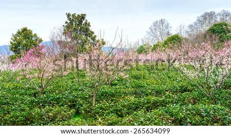 Yuhua tea and Plum Blossom in early spring. Located in Plum Blossom Hill, Purple Mountain of Nanjing City, Jiangsu Province, China. - stock photo