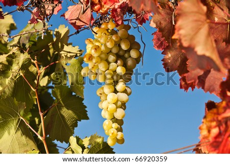 Yummy grapes. Juicy bunch of white grapes. - stock photo