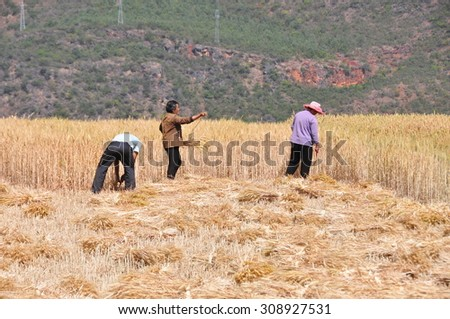 Yunnan, China - Aug 20, 2015: Unidentified Chinese farmers harvesting wheat on the field in Yunnan, China.