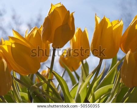 Yyellow tulips - stock photo