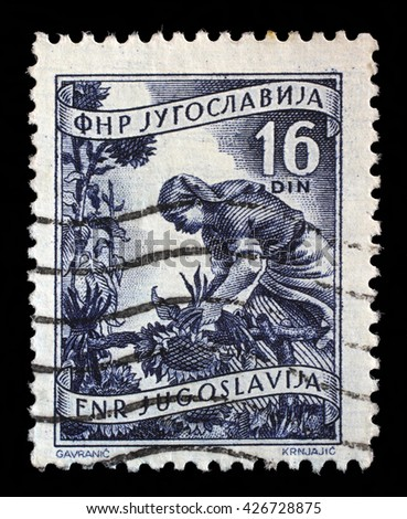 ZAGREB, CROATIA - SEPTEMBER 13: A stamp printed in Yugoslavia shows woman to harvest sunflowers, domestic economy series, circa 1952, on September 13, 2014, Zagreb, Croatia