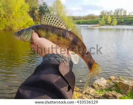 Zander in hand - stock photo