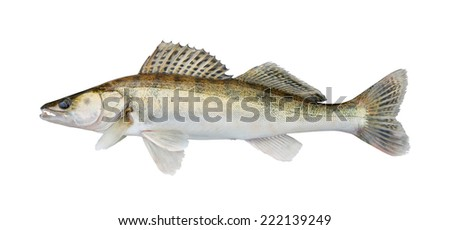 zander, isolated over white - stock photo