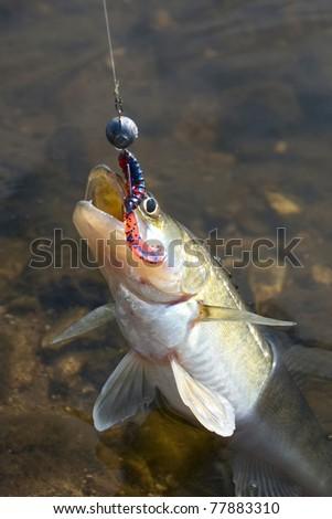 Zander on hook soft bait - stock photo