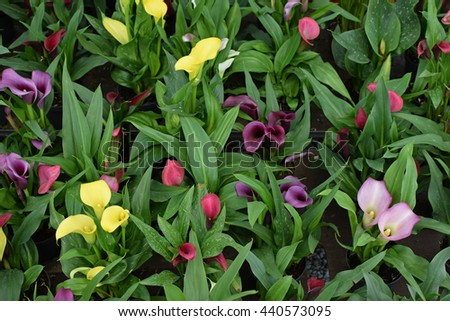 Zantedeschia calla lily flowers in bloom. Colorful nature background. - stock photo