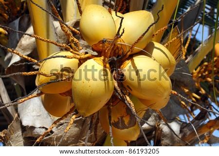 Zanzibar, Nangwi: coconut - stock photo